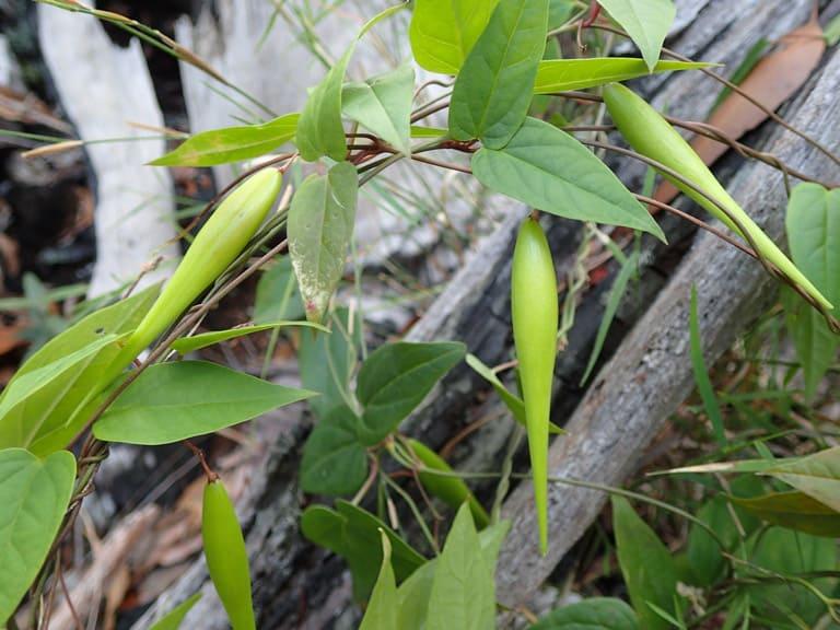 Tylophora rupicola, ranges east of Cairns.